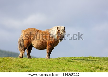 Shetland Pony standing in a grassy field - stock photo