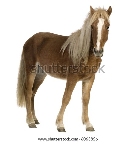 Shetland pony  (2 years) in front of a white background - stock photo