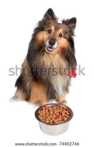 Shetland Sheepdod better known as a Sheltie  dog sitting in front of  a silver bowl full of  food bits on a white background - stock photo