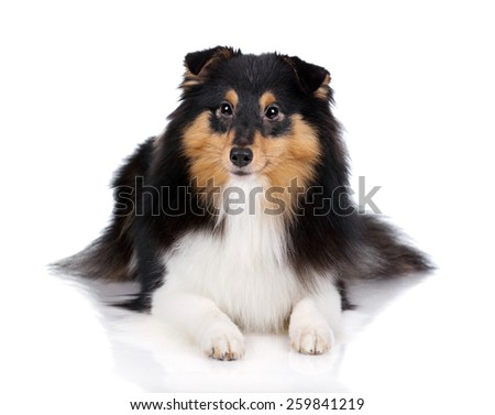 Shetland Sheepdog dog lying on a white background