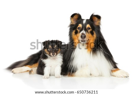 Shetland Sheepdog family father and son posing on white background