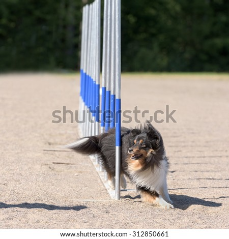 Shetland Sheepdog in agility slalom - stock photo