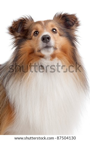 Shetland sheepdog in front of a white background - stock photo