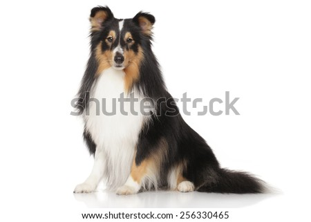 Shetland sheepdog in front of white background - stock photo