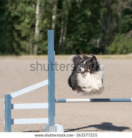 Shetland Sheepdog jumps over an agility hurdle - stock photo