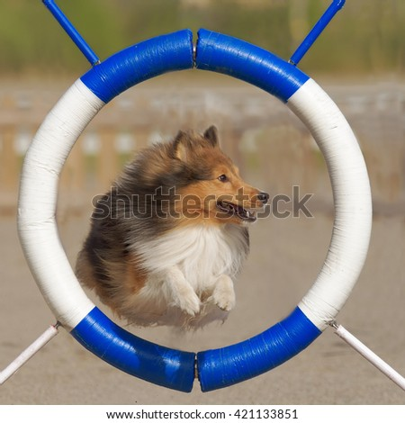 Shetland Sheepdog jumps through agility ring - stock photo