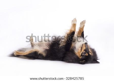 Shetland Sheepdog, lying on back, isolated on white background - stock photo