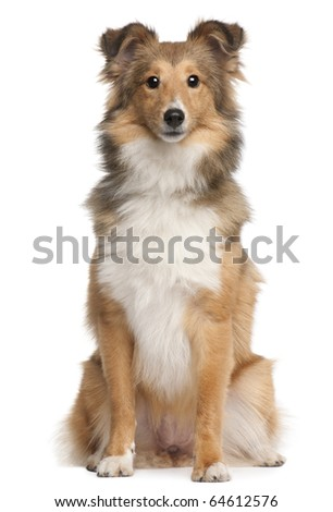 Shetland Sheepdog, 9 months old, sitting in front of white background - stock photo