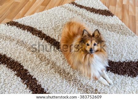 Shetland Sheepdog on carpet  - stock photo