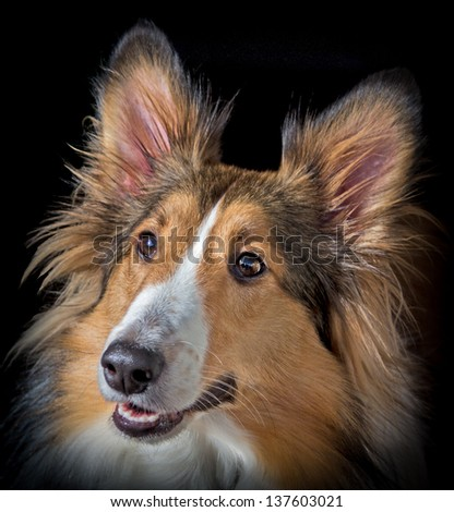 Shetland Sheepdog portrait/Pretty Sheltie Portrait/Pretty Girl