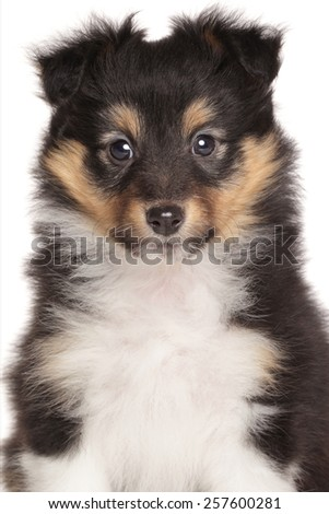 Shetland Sheepdog puppy. Close-up portrait on a white background
