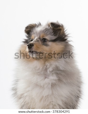 Shetland sheepdog puppy portrait. Image taken in a studio. - stock photo