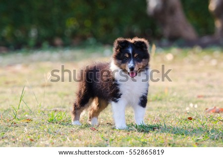 Shetland Sheepdog puppy standing on grass field.