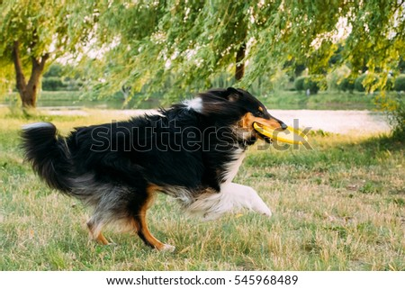 Shetland Sheepdog, Sheltie, Collie. Play With Plate Outdoor In Summer Grass At Evening.  Breed Of Herding Dog. They Are Vocal, Excitable, Energetic Dogs Who Are Always Willing To Please And Work Hard