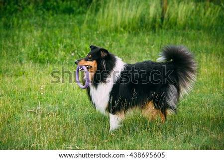 Shetland Sheepdog, Sheltie, Collie. Play With Ring Outdoor In Summer Grass At Evening. This Breed Of Herding Dog. - stock photo