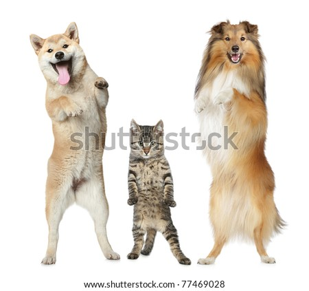 Shetland sheepdog, Shiba-inu and cat stand on hind legs on a white background - stock photo