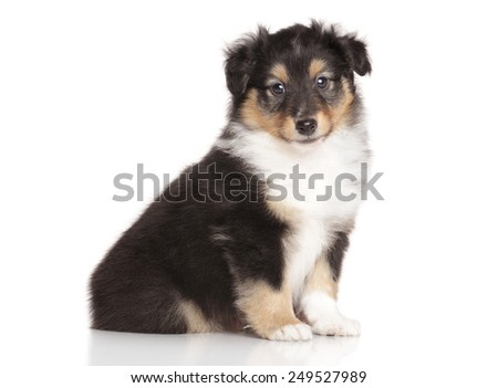 Shetland Sheepdog sits in front of white background