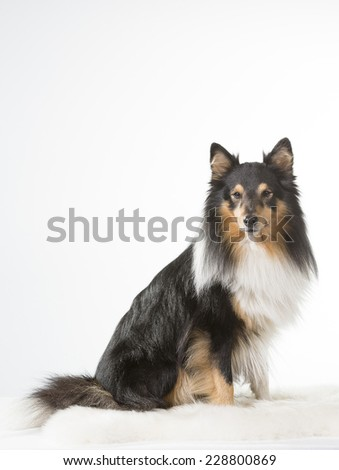 Shetland sheepdog sitting in a studio. - stock photo