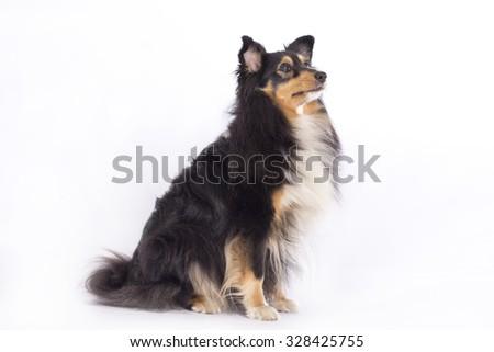 Shetland Sheepdog, sitting isolated on white background - stock photo