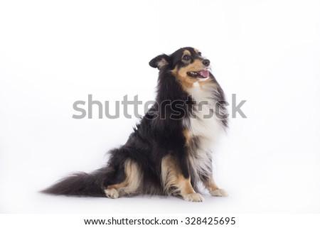 Shetland Sheepdog, sitting, isolated on white studio background - stock photo