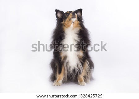 Shetland Sheepdog, sitting, looking up, isolated on white background - stock photo