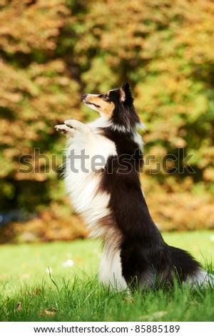Shetland Sheepdog sitting on green grass at autumn background - stock photo