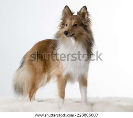 Shetland sheepdog standing. Image taken in a studio. - stock photo