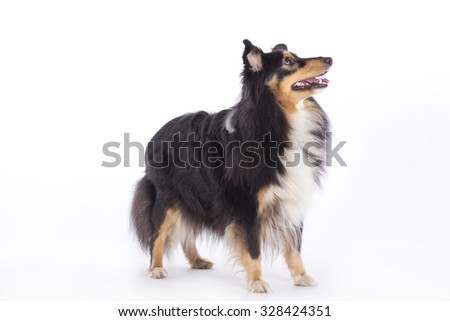 Shetland Sheepdog, standing, isolated on white studio background - stock photo