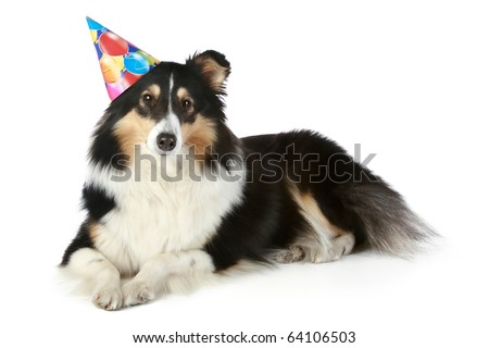 Shetland sheepdog with birthday party hat on a white background - stock photo