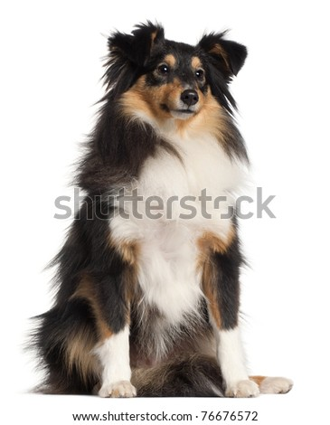 Shetland Sheepdog, 1 year old, sitting in front of white background