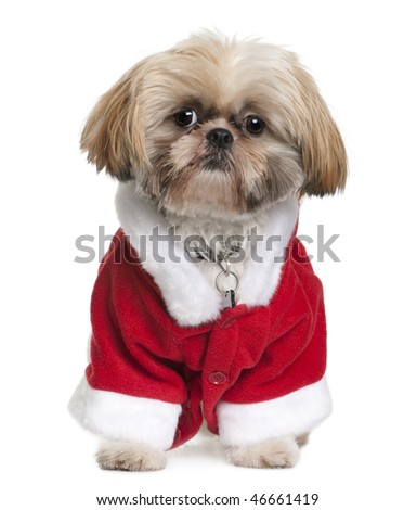 Shi-Tzu in Santa Claus suit, 3 years old, sitting in front of white background - stock photo