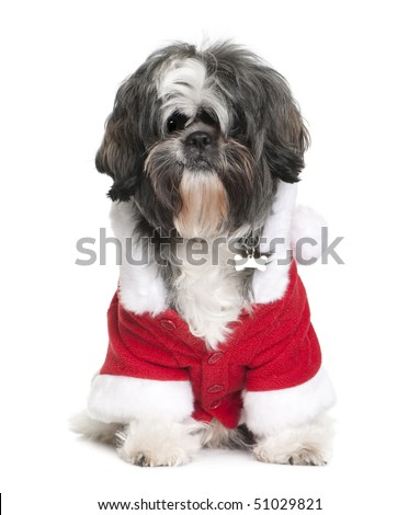Shi-Tzu in Santa coat, 2 years old, sitting in front of white background - stock photo