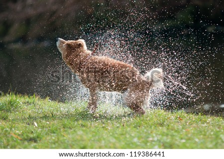 Shiba Inu dog shaking off water after bath in the river - stock photo