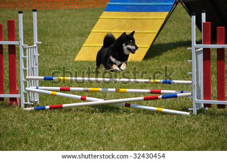 Shiba Inu leaping over a double jump at dog agility trial, copy space, vertical - stock photo