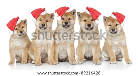 Shiba inu puppies portrait on a white background - stock photo