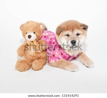 Shiba inu puppy all ready for bed with hed teddy bear, on a white background. - stock photo