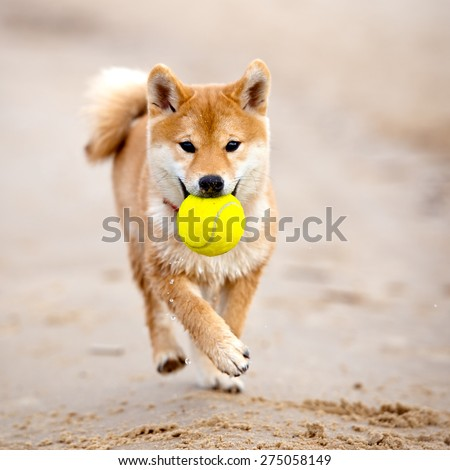shiba-inu puppy carrying a tennis ball - stock photo
