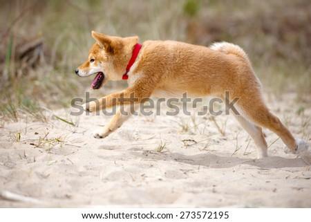 shiba-inu puppy running outdoors - stock photo