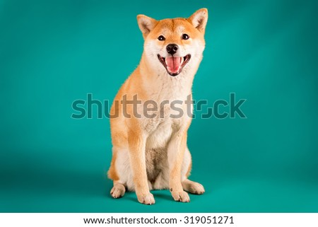 Shiba Inu puppy sits on a green background - stock photo