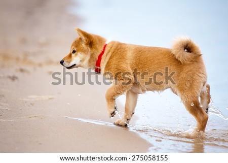 shiba-inu puppy walking on a beach - stock photo