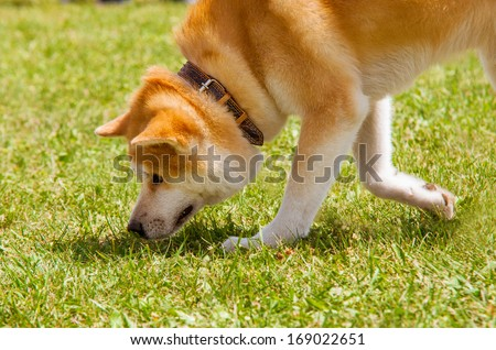 Shiba Inu spitz breeds of dog from Japan snuff the prey - stock photo