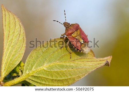 Shield Bug closeup portrait on green leaf - stock photo