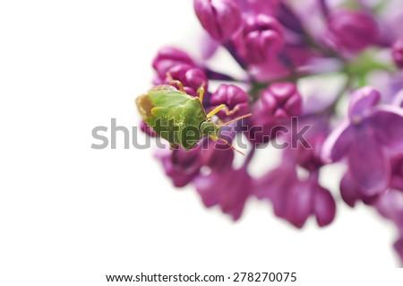 Shield bug, Elasmucha ferrugata on flower - stock photo
