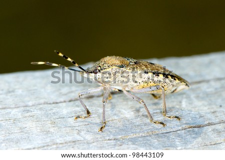 shield bug, extreme close-up  / Hemiptera sp. - stock photo