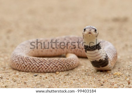 Shield nose snake (Aspidelaps scutatus), South Africa