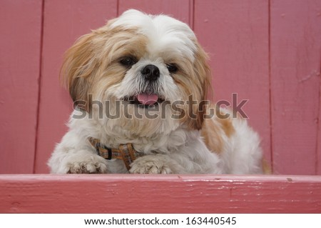 Shih Tzu - stock photo