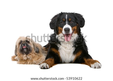 Shih tzu and a Bernese mountain dog isolated on white - stock photo