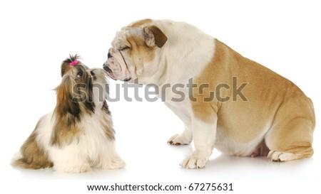 shih tzu and english bulldog friendship with reflection on white background - stock photo