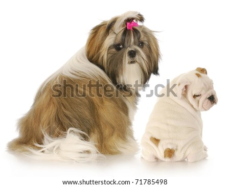 shih tzu and english bulldog puppies looking over their shoulder at viewer on white background - stock photo