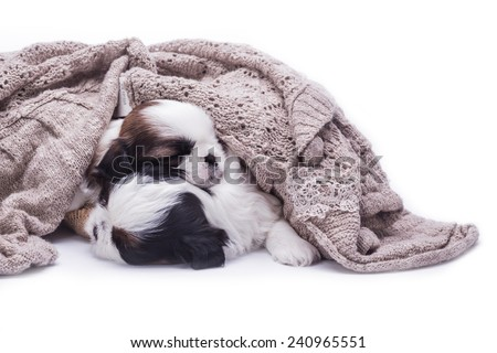 shih tzu baby dog sleeping with cloth brown on white background - stock photo